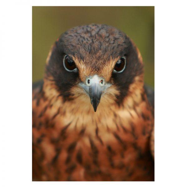 Bird-of-prey-alu-01
