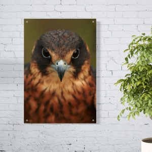 Bird of Prey aluminium poster