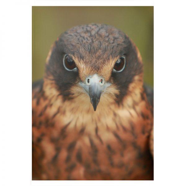 Bird-of-prey-plexi-01