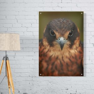Bird of Prey plexiglas poster
