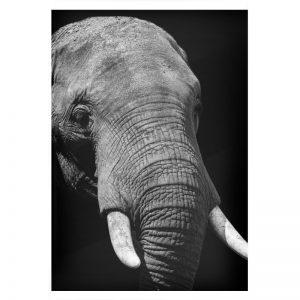 Elephant plexiglas poster