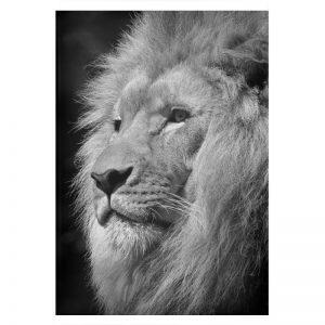 Lion Black plexiglas poster