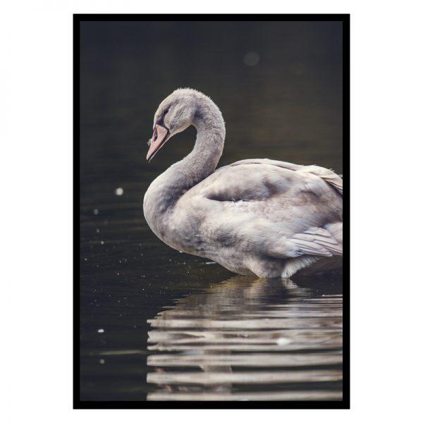 swan-01