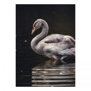 Swan aluminium poster