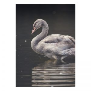 Swan plexiglas poster