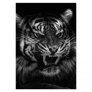 Aluminium Dibond Plexiglas Angry Black Tiger dieren poster