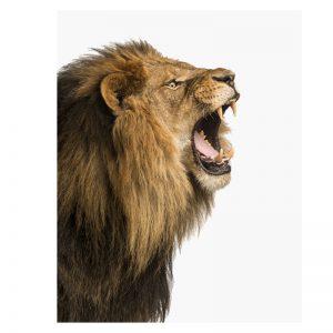 Aluminium Dibond Plexiglas Angry Lion dieren poster