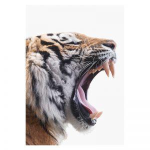 Aluminium Dibond Plexiglas Angry Tiger dieren poster