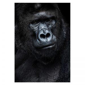 Aluminium Dibond Plexiglas Gorilla dieren poster